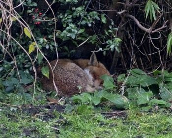 Fox sleeping in back garden Bow, London, E3